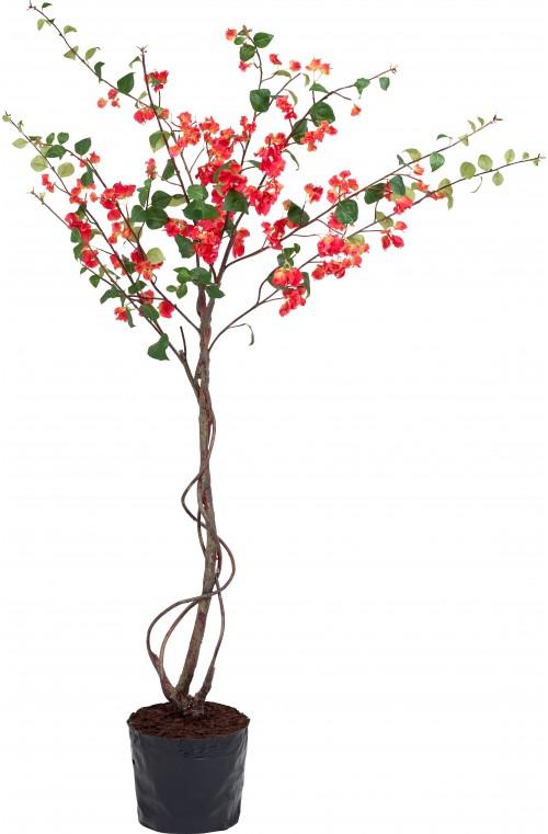 VERONA BOUGAINVILLEA TREE IN POT H213