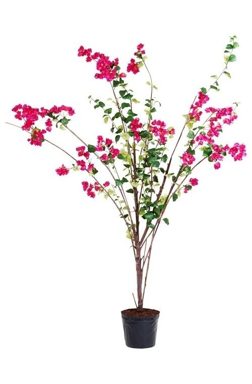 VERONA BOUGAINVILLEA TREE IN POT H260