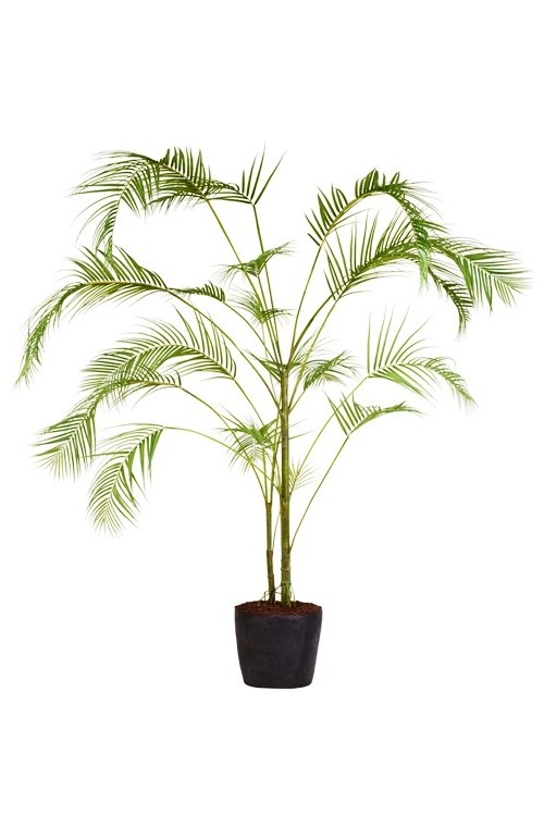 KENTIA PALM TREE POTTED